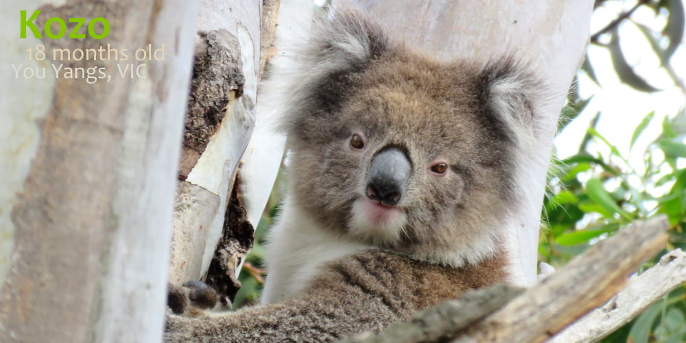 18 month old female wild koala