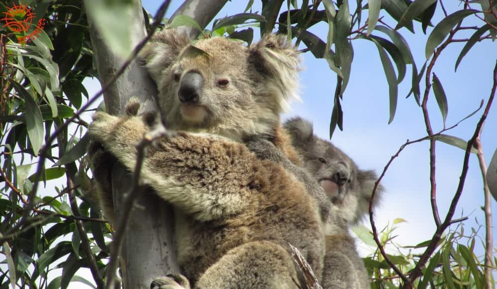 mother koala with joey