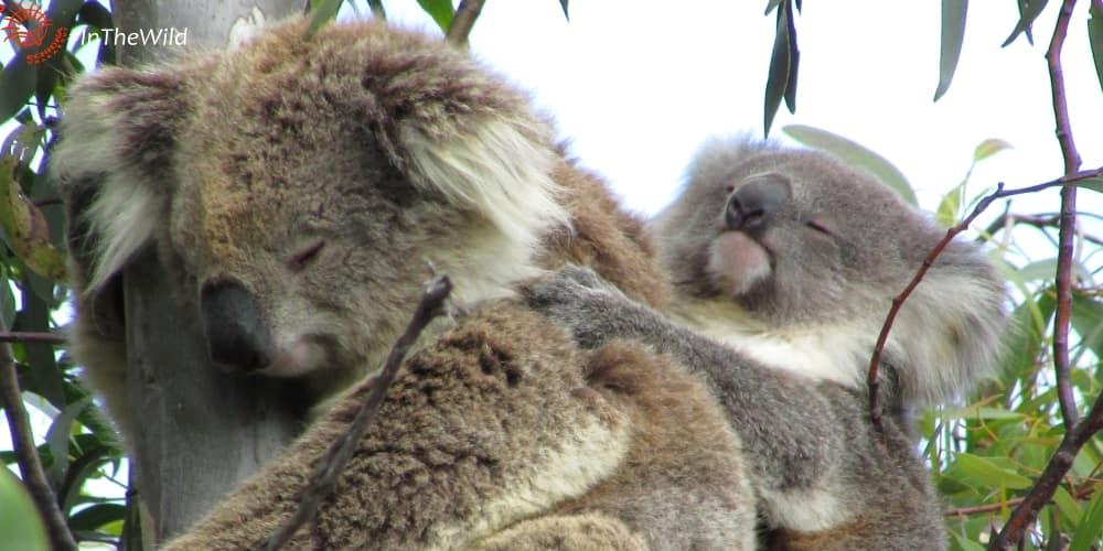 wild female koala with joey on back