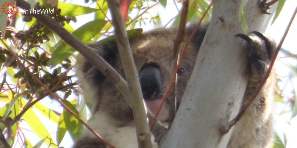 young female koala