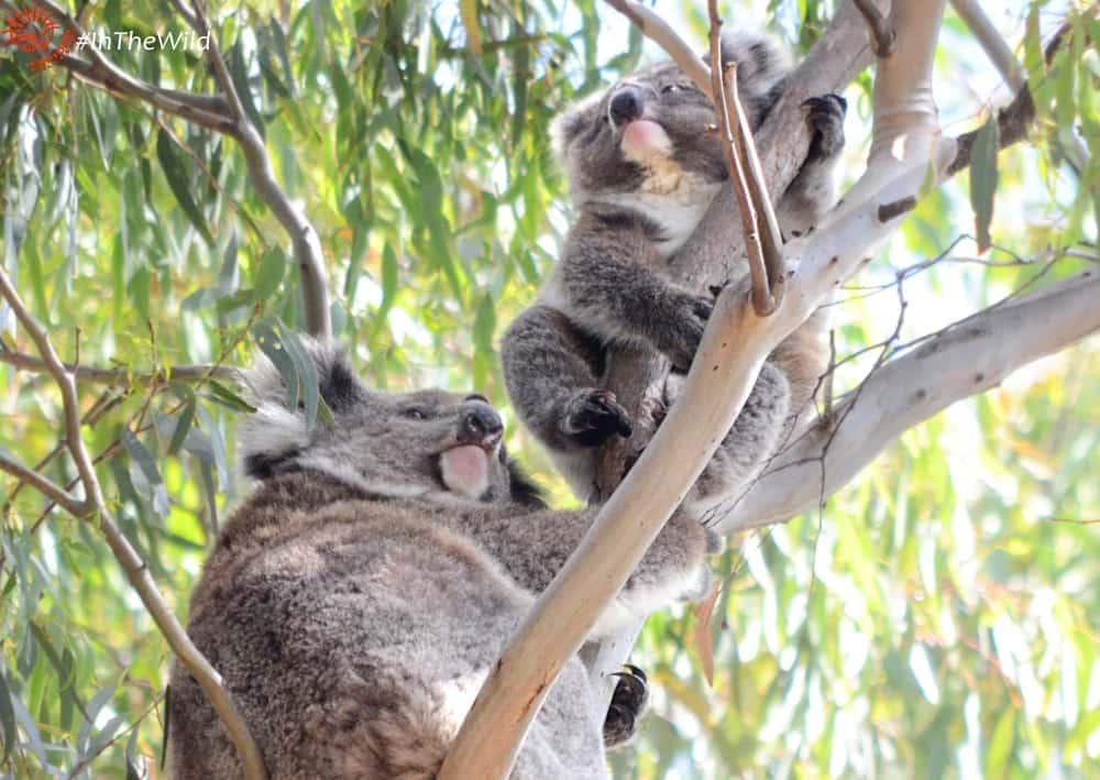 mother koala with cheeky joey