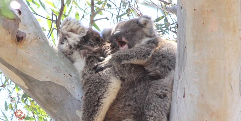 koala joey with funny look