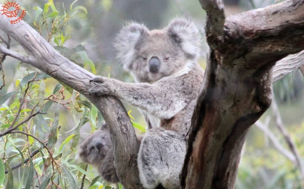 koala joey peeking at camera