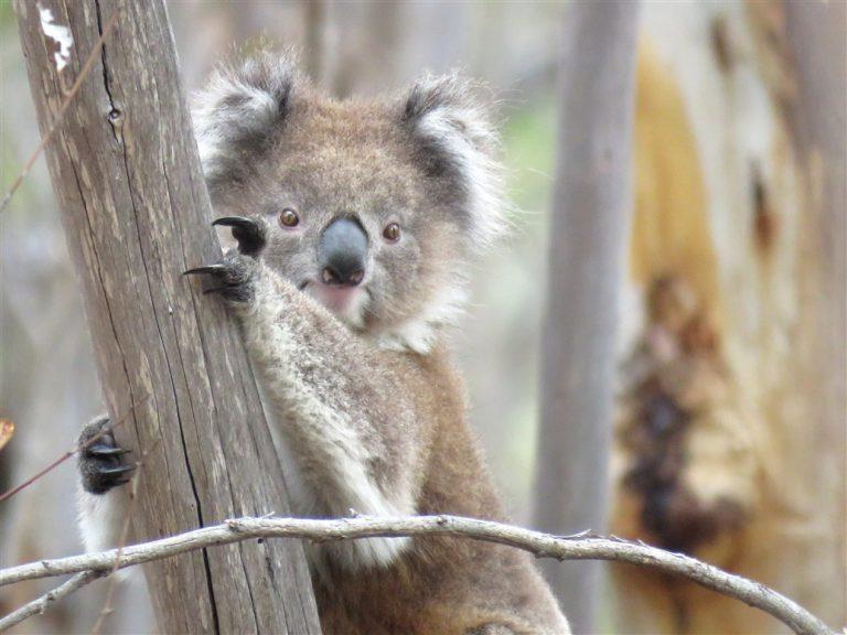 koala habitate
