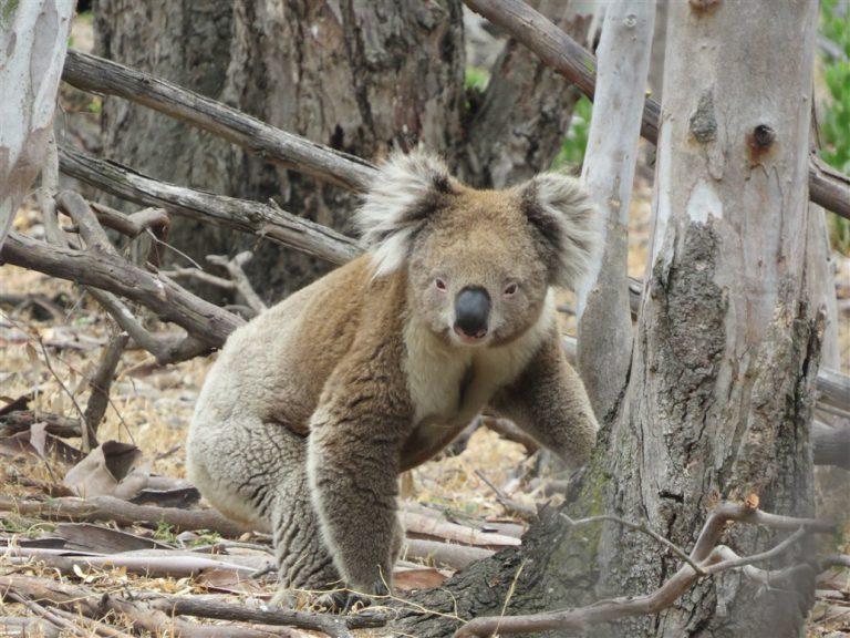 Koala on the ground