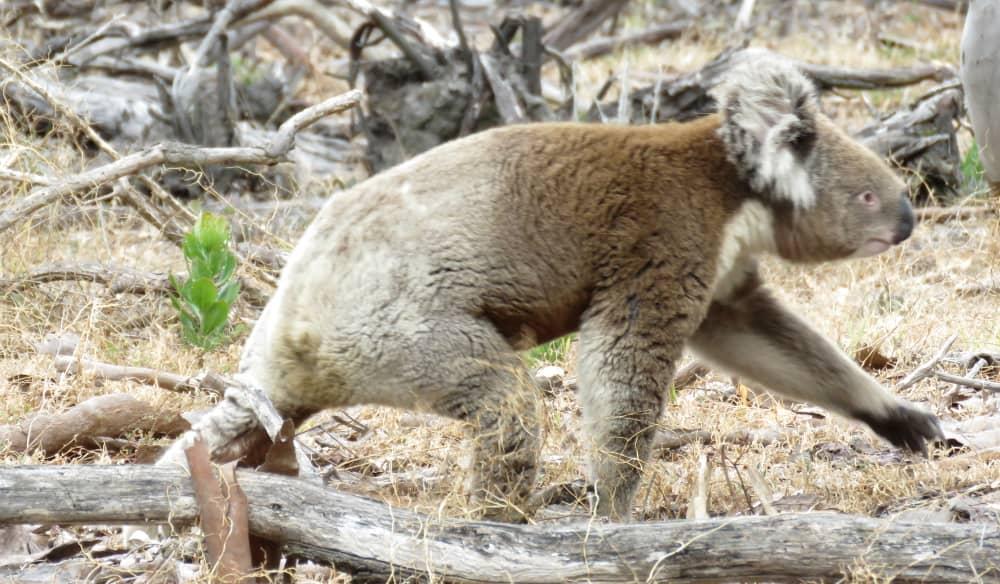 wild koala walking on ground