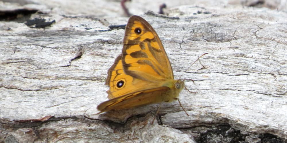 common butterfly brown orange geelong