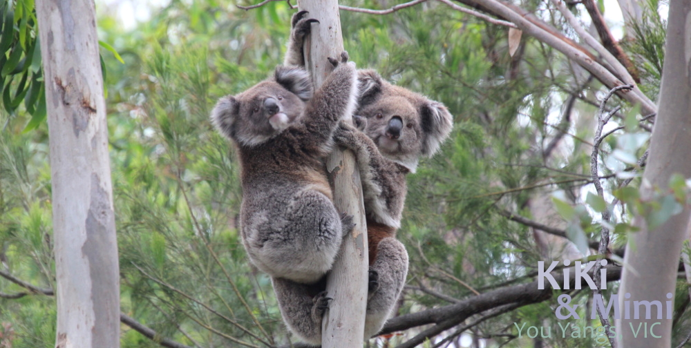 cute mum koala with joey you yangs