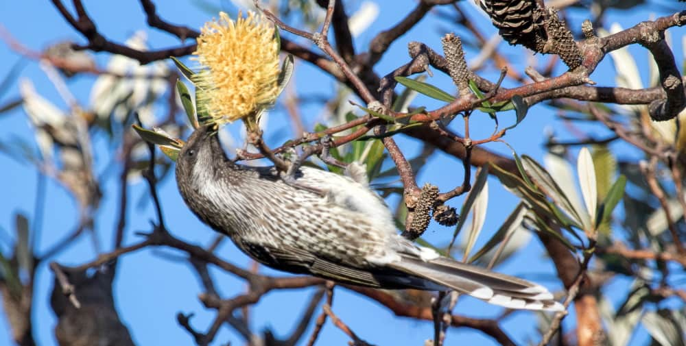 Little Wattlebird common birds