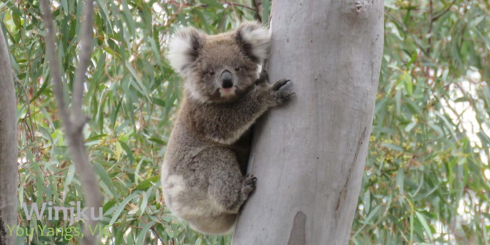 confident little koala joey