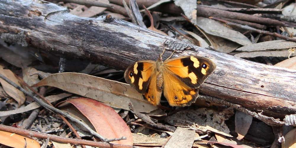female common brown butterfly geelong