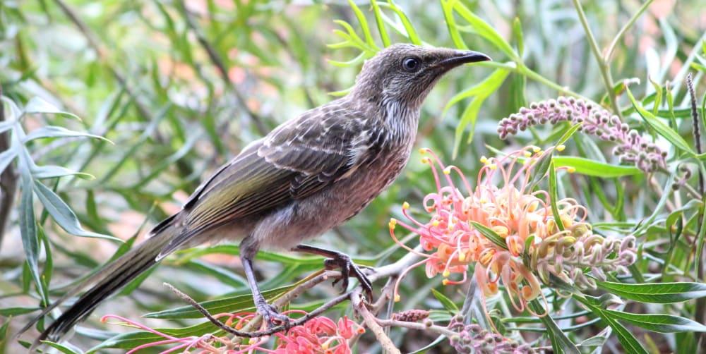 Common birds suburbs Melbourne