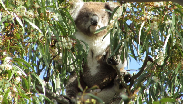 koala displaying scent glands and balls