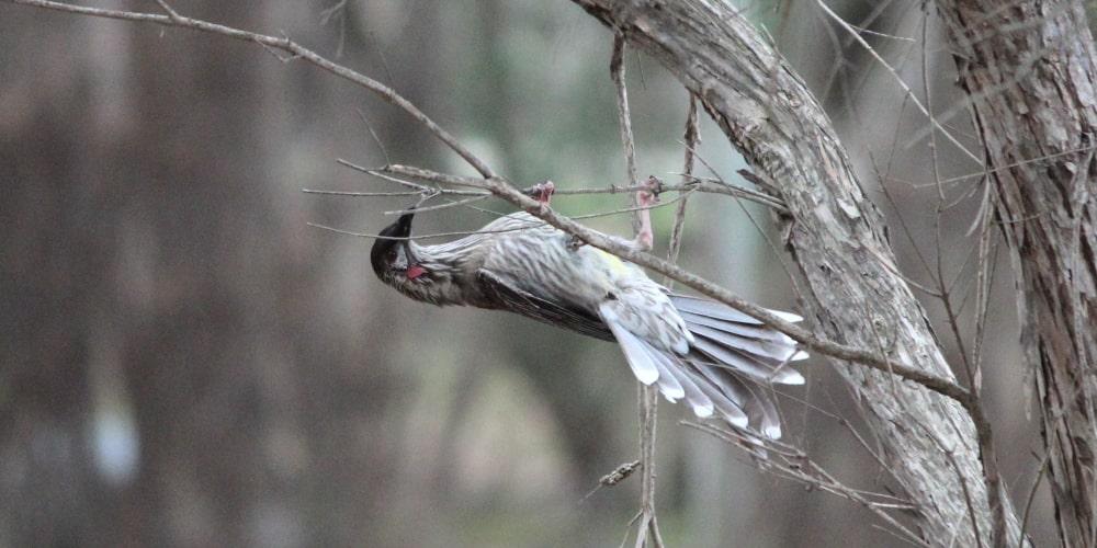 red wattlebird in backyard geelong