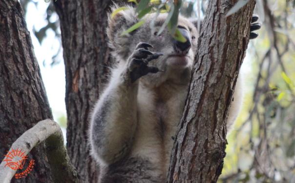 koala climbing up tree