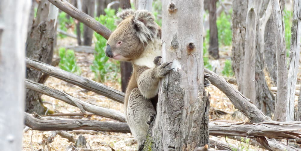 wild koala low on tree