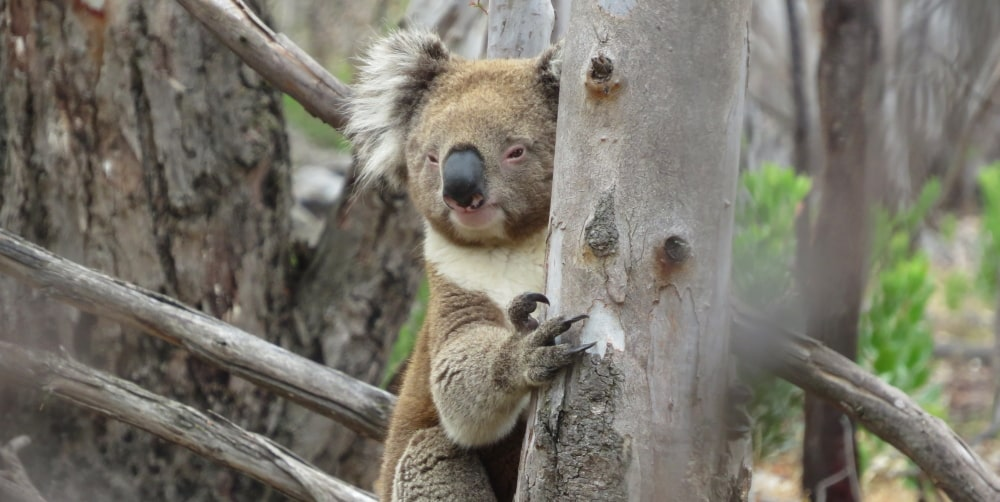 wild koala near ground