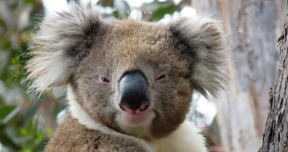 handsome wild male koala face