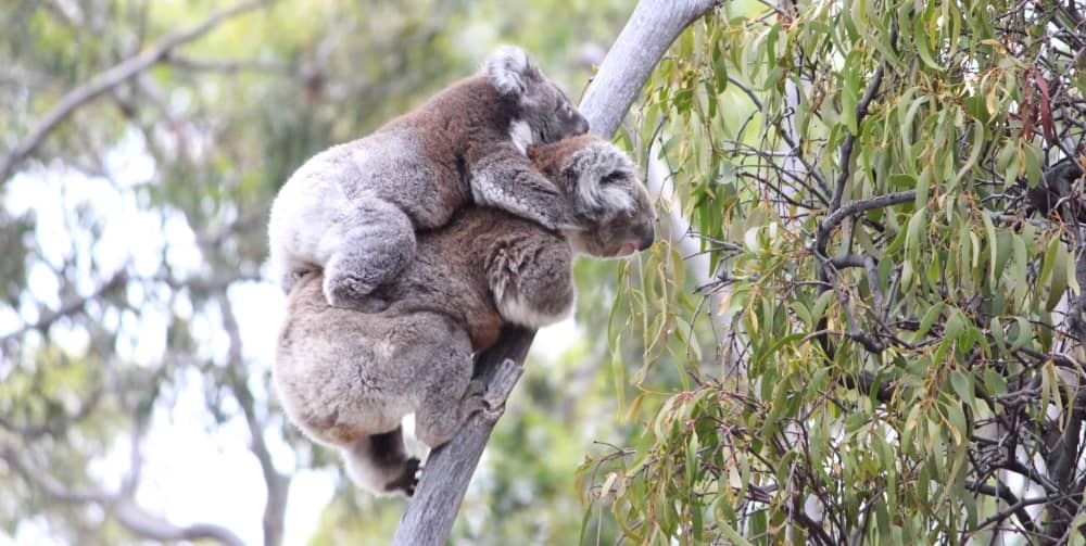 mother koala teaching joey