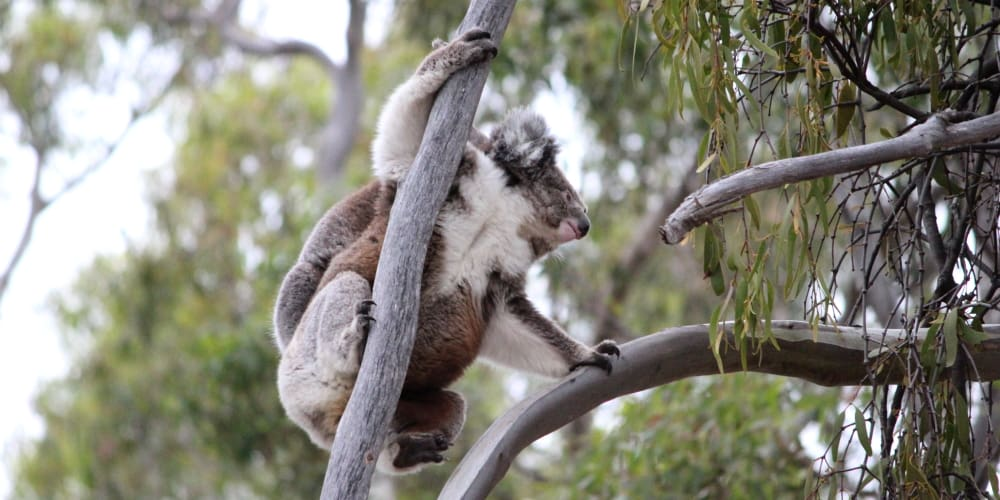 wild mother koala climbing with joey on back