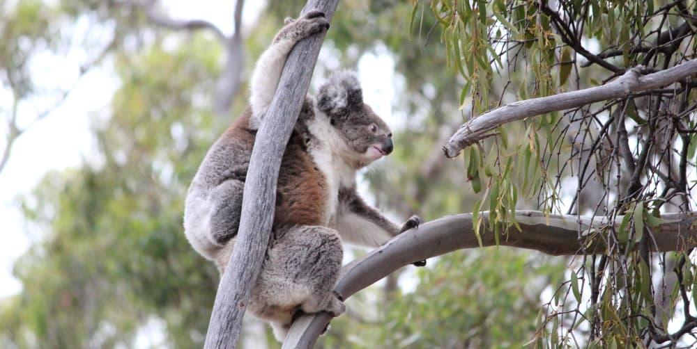 wild koala climbing with joey