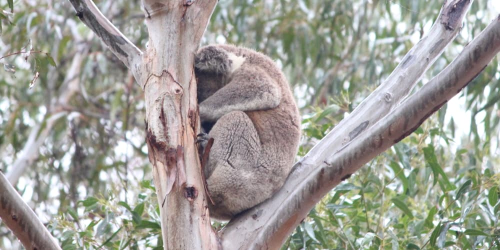 wild koala in You Yangs Victoria