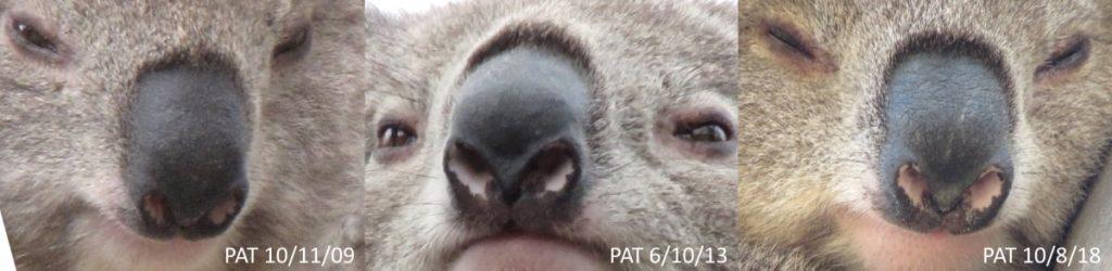 Koala nose pattern identification