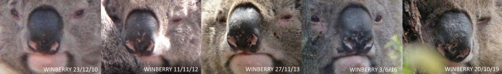 koala nose markings non-intrusive identification