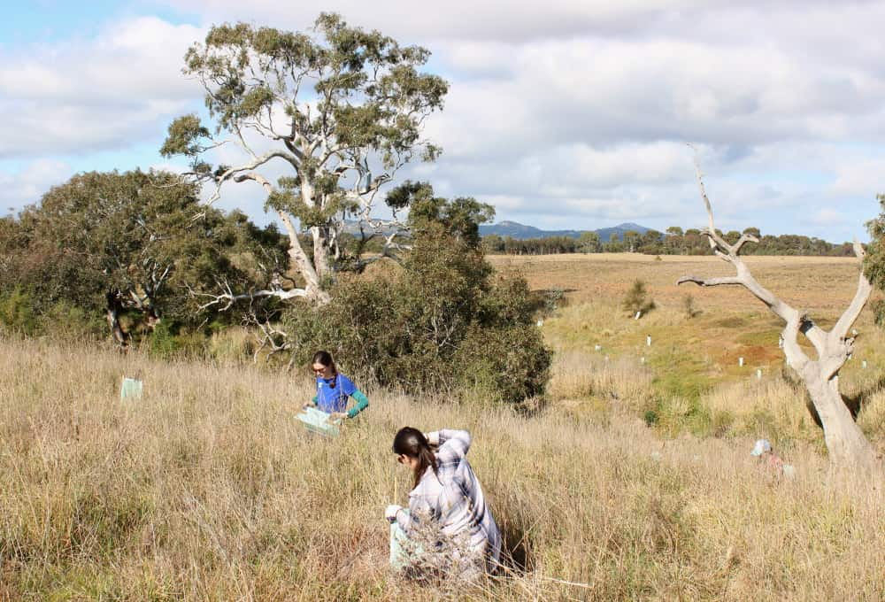 planting trees near the You Yangs