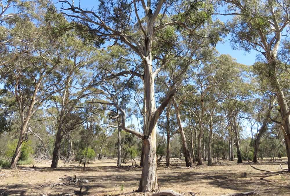 grassy woodland with koala