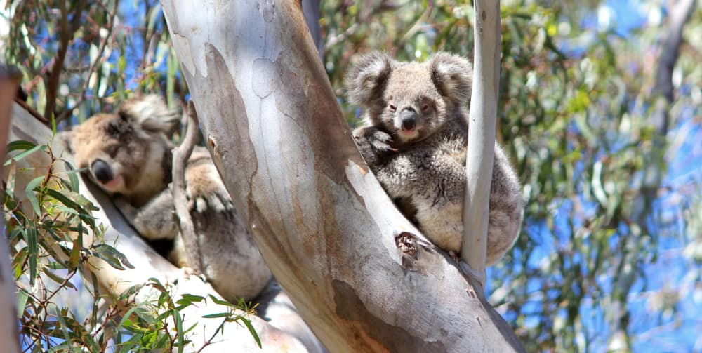 trees planted for koalas