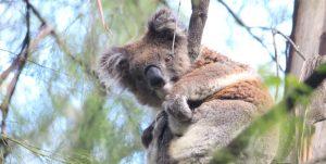 koala count Mallacoota