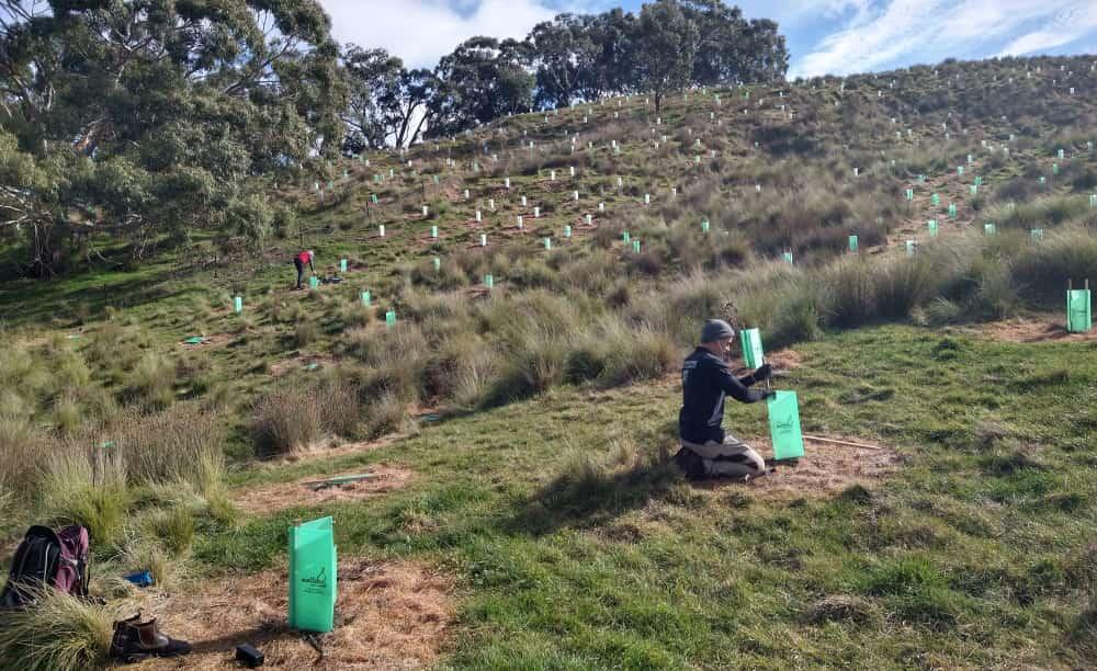 spot spray circles weed management tree planting