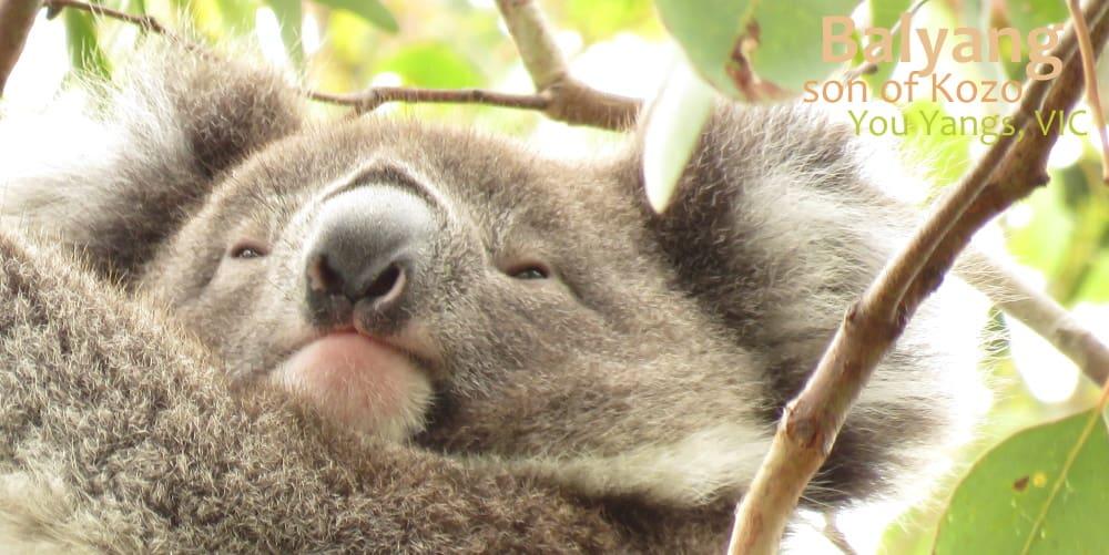 male koala joey 2020