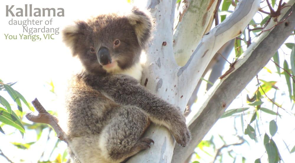 cute koala baby 2020