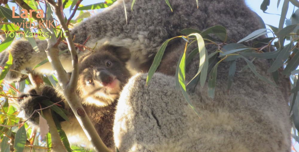 funny koala joey in pouch