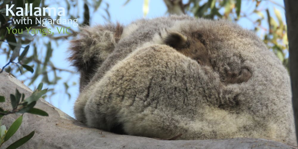 koala joey cuddling with mother