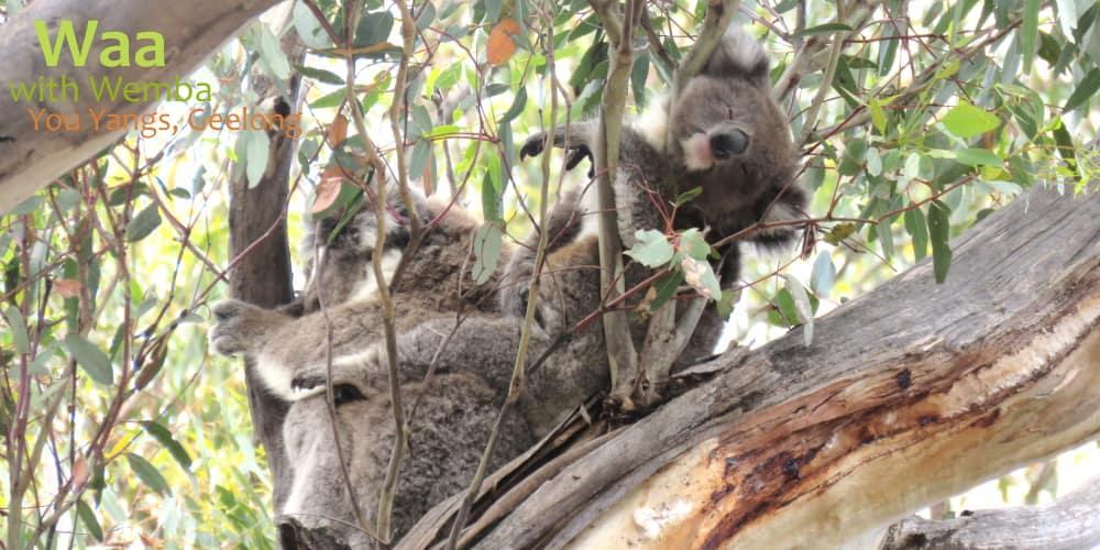 koala baby funny position