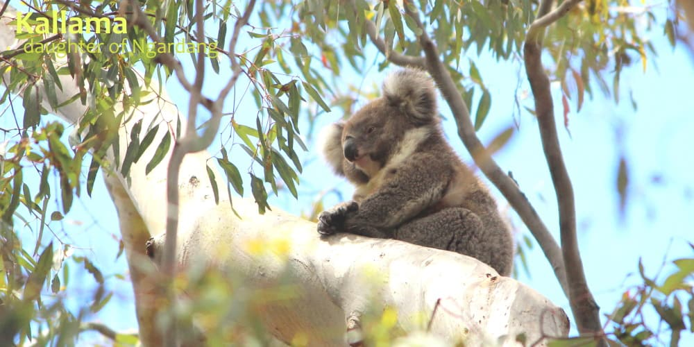 beautiful koala joey in tree