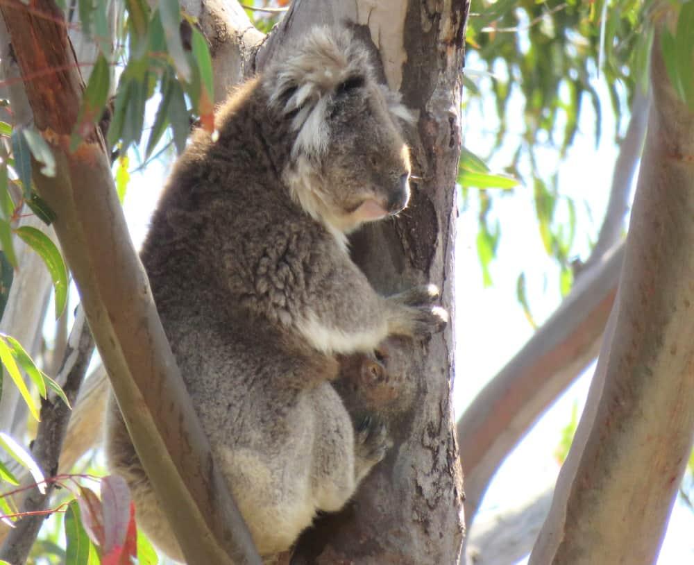 unexpected koala sighting