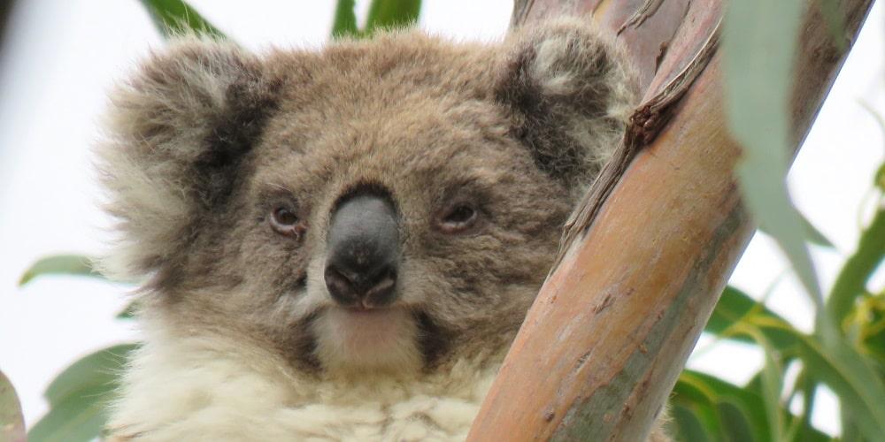 mature wild female koala Mear