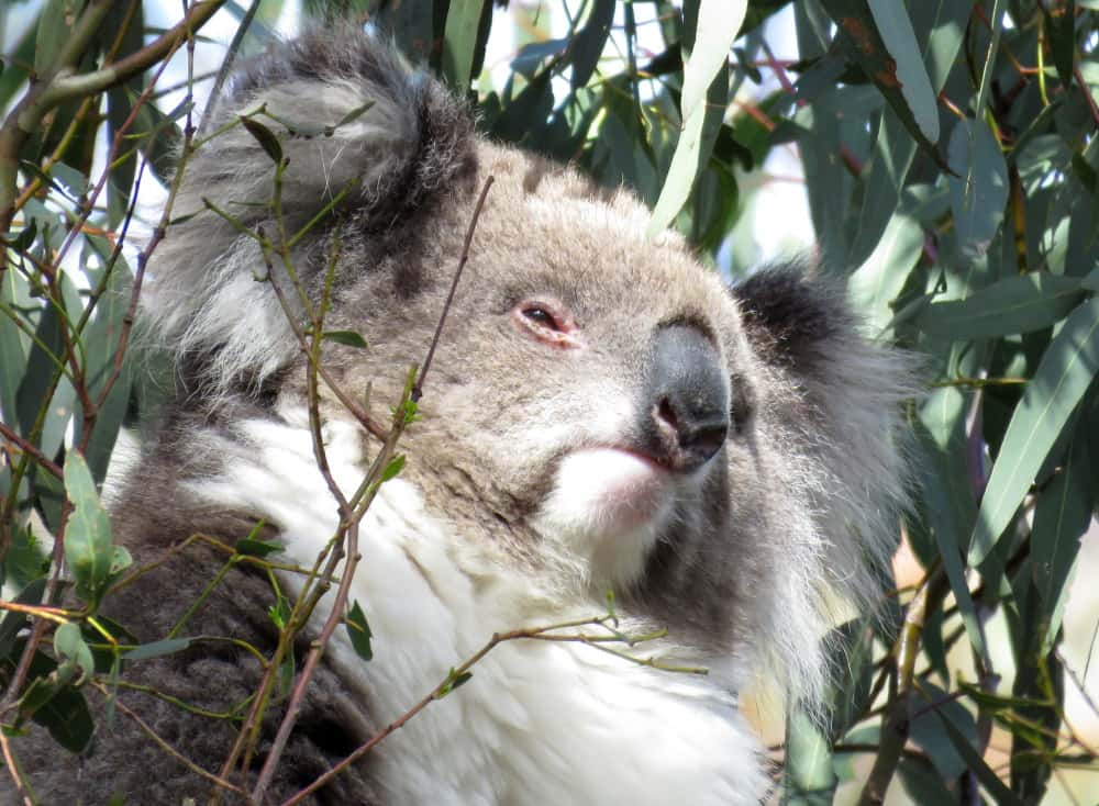 koala appeared out of nowhere