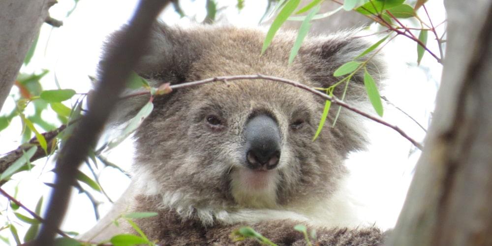 unexpected sighting koala