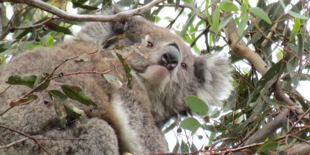 Mear wild female koala rare sighting