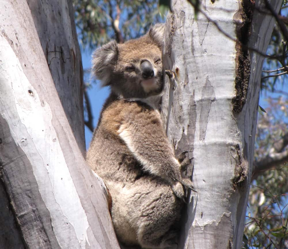 koala that appeared out of nowhere