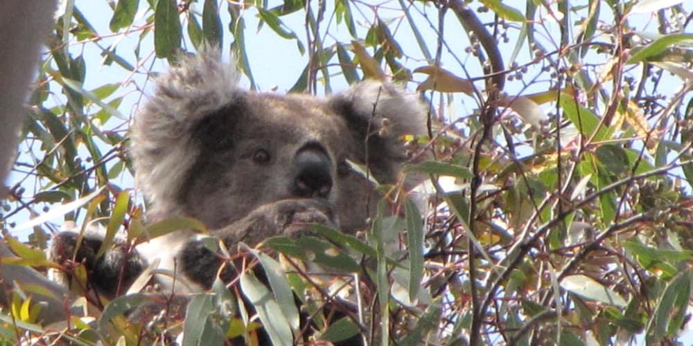first sighting of wild koala