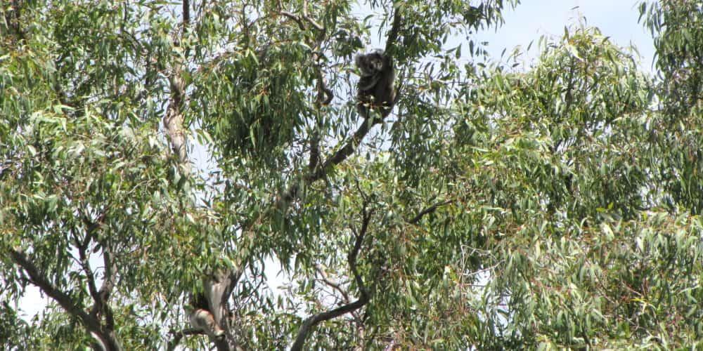 female koala that appeared with joey