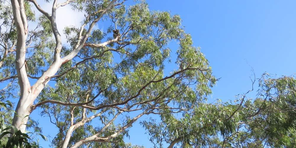 koala in river red gum eucalyptus camaldulensis