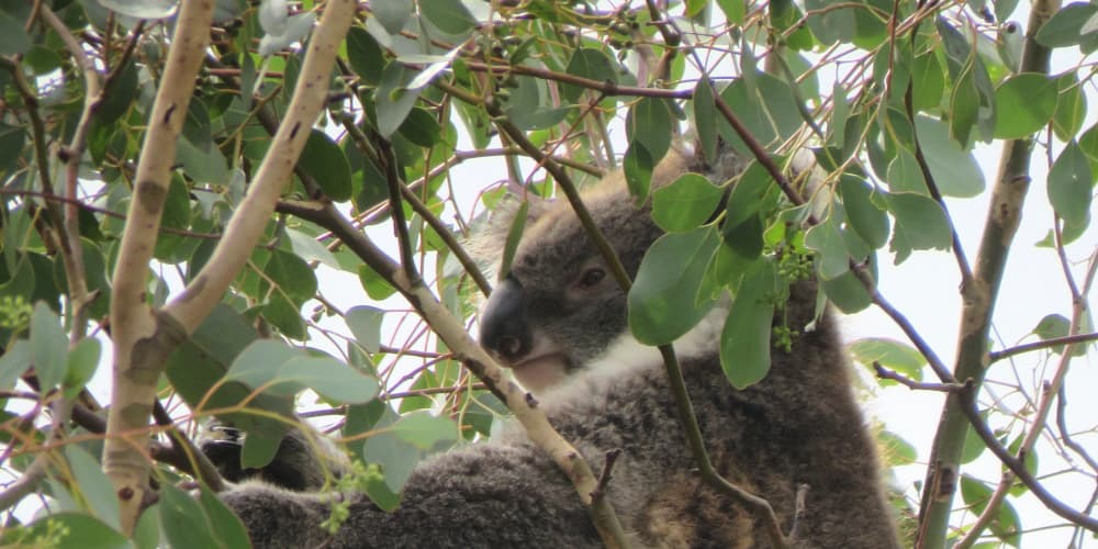 Female koala trees to plant