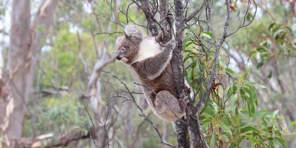 koala in Acacia wattle non-food tree